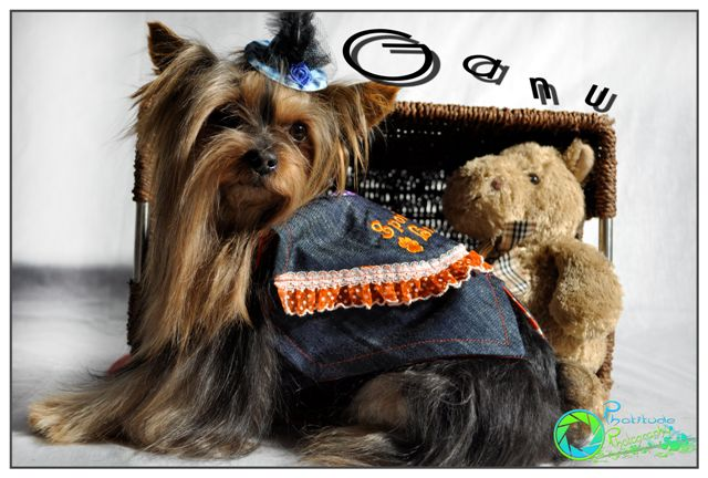 ganu--yorkshire-terrier