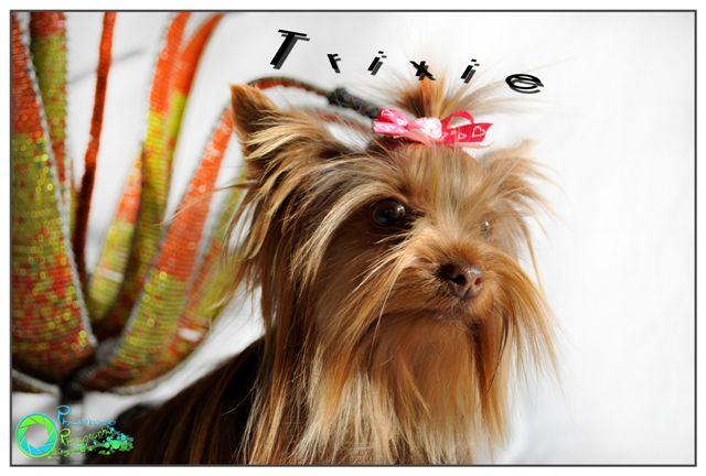 trixie--yorkshire-terrier