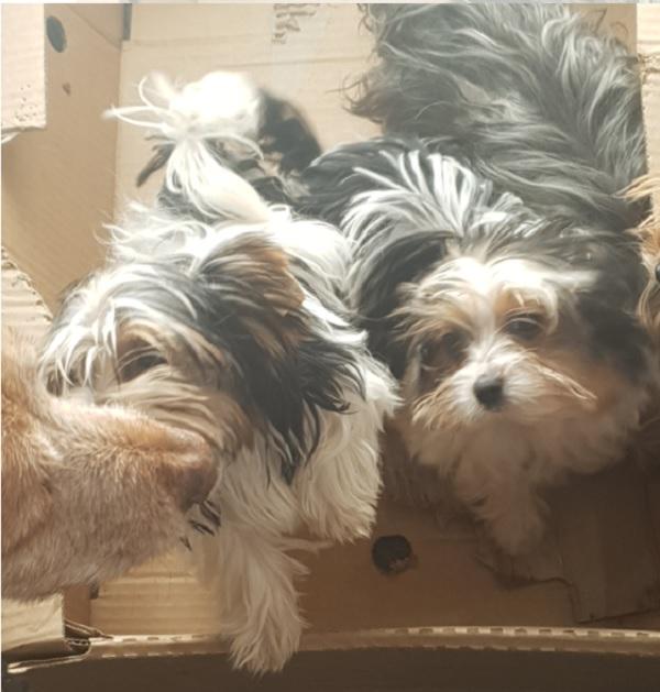 Mijoy Biewer Terriers Near FOURWAYS Johannesburg, Gauteng  Playpens