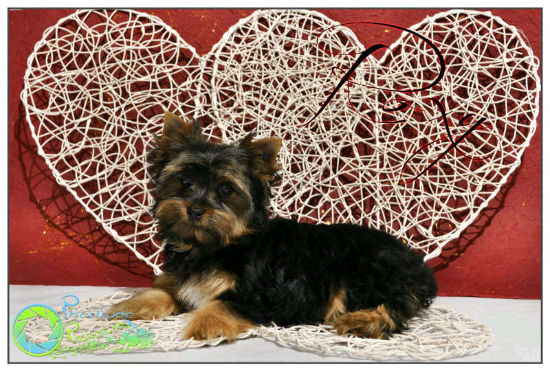 roxy--yorkshire-terrier