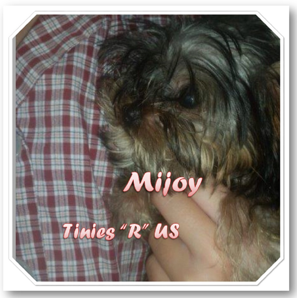 Mijoy when only the best will do mijoy yorkies and mijoy our pups are born as nature intended nvjuhfo Images