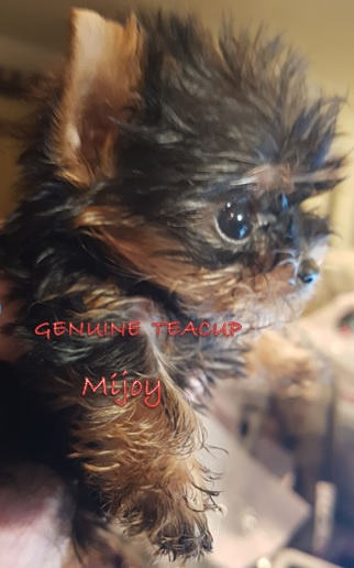 Mijoy Yorkies and Mijoy Biewers - Yorkshire pups for sale